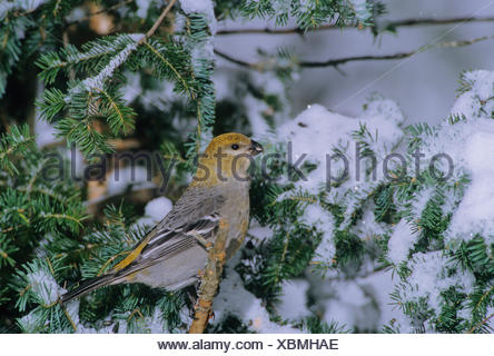 Pine Grosbeak (Pinicola enucleator) Adult Female forages in trees bushes mainly eating seeds buds berries insects. Outside the - Stock Photo