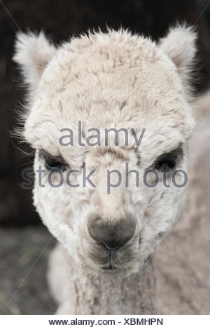 Alpaca portrait. - Stock Photo