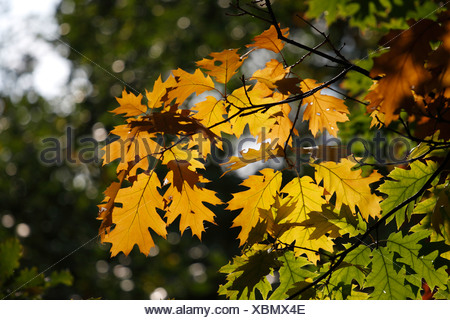 Oak leaves (Quercus) in the fall - Stock Photo