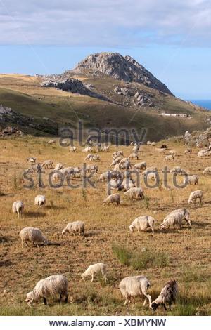 Sheep grazing near Plakias, Crete, Greece, Europe - Stock Photo