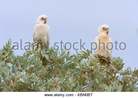 little corella (Cacatua sanguinea), two Little Corellas sitting on a bush at a beach , Australia, Western Australia, Cape Range National Park - Stock Photo