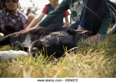 Portrait black and white dog laying in grass - Stock Photo
