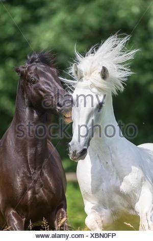 Pure Spanish Horse, Andalusian. Black stallion biting white stallion on a pasture. Switzerland - Stock Photo