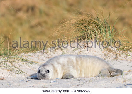 Gray Seal (Halichoerus grypus), juvenile on the beach, howler, Heligoland, Schleswig-Holstein, Germany - Stock Photo