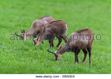 chamois (Rupicapra rupicapra), three chamoises grazing in a mountain meadow, Switzerland, Grisons, Zernez - Stock Photo