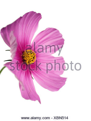 closeup of a cosmo flower with focus on yellow pistil - Stock Photo