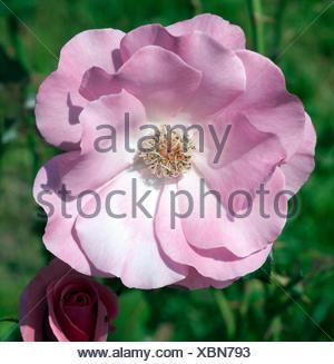 Strauchrose, Romanze, Tantau - Stock Photo