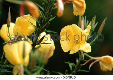 Large-Flowered Evening, Red-Sepaled Evening-Primrose, Large-Leaved Evening Primerose (Oenothera glazioviana, Oenothera erythrosepala), blooming, Germany - Stock Photo
