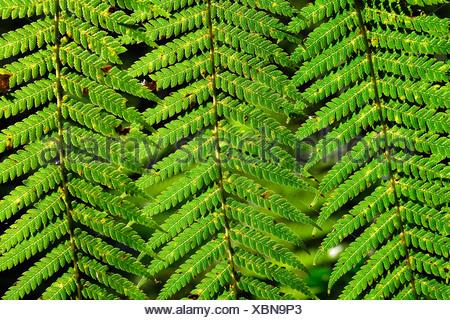 Fern (Pteridophyta), Tasmania, Australia - Stock Photo