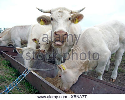Charolais cattle, domestic cattle (Bos primigenius f. taurus), cattle side by side at the feeding trough - Stock Photo