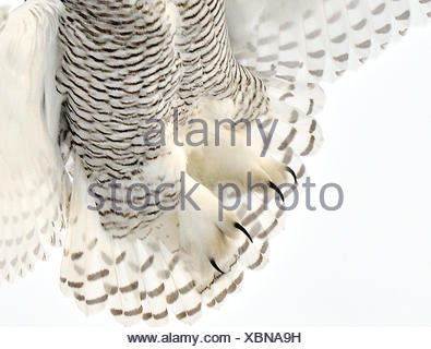 Bubo scandiacus, snowy owl, ottawa, ontario, canada, wildlife, bird, large owl, white owl - Stock Photo