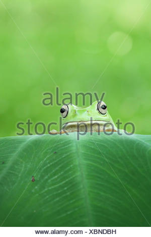 Frog looking over the top of a leaf - Stock Photo