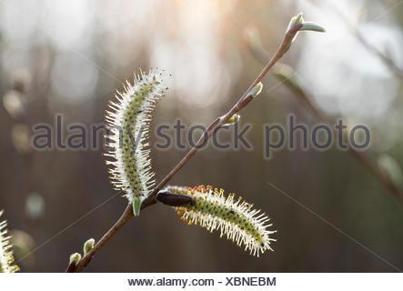 Frühling, Weidekätzchen, Blüte, Purpur-Weide, Purpurweide (Salix purpurea), Oberbayern, Bayern, Deutschland - Stock Photo