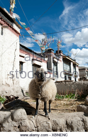 Domestic sheep (Ovis orientalis aries) standing in the historic district, houses with flat roofs, Gyantse, Himalaya Range - Stock Photo