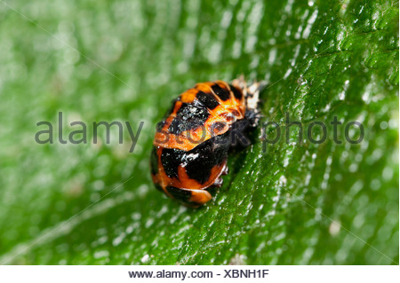 Harlequin Ladybird Pupae Harmonia axyridis on leaf in garden UK - Stock Photo