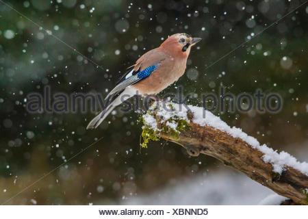 jay (Garrulus glandarius), sitting at snowfall on an old branch, side view, Switzerland, Sankt Gallen - Stock Photo