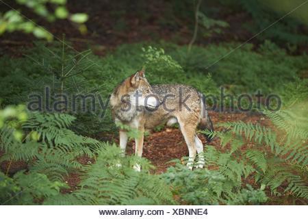 eurasian greywolf - Stock Photo