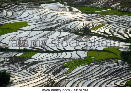 Rice, rice cultivation, rice terraces on a slope filled with water at Ou Tai, Gnot Ou district, Yot Ou, Phongsali, Phongsali Pr - Stock Photo