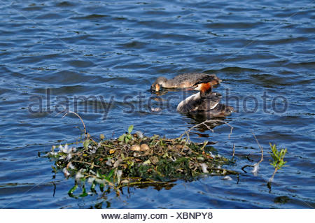 great crested grebe (Podiceps cristatus), couple with chick swimming near the nest, Germany, North Rhine-Westphalia - Stock Photo