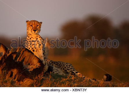 Male Cheetah (Acinonyx jubatus) at sunset, Okavango Delta, Botswana - Stock Photo