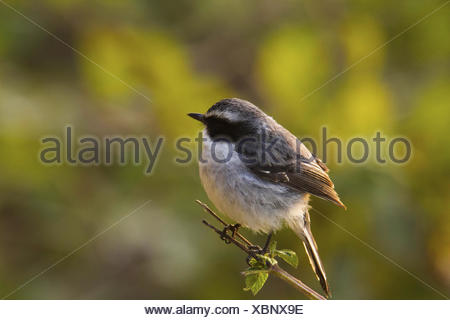 Pied Bushchat, Saxicola caprata, Chafi, Uttarakhand, India - Stock Photo