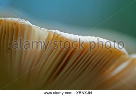 Mushroom in a woodland vith his gills. Mushroom in a woodland vith light inside. Aveto valley, Genoa, Italy, Europe - Stock Photo