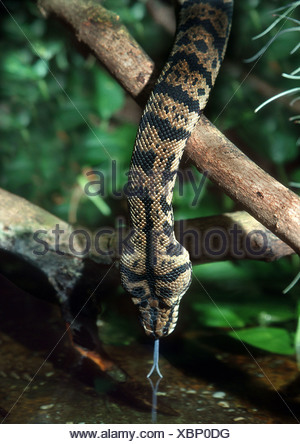 diamond python (Morelia argus, Morelia spilota spilota), python drinks - Stock Photo