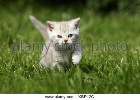 British Shorthair Kitten - Stock Photo