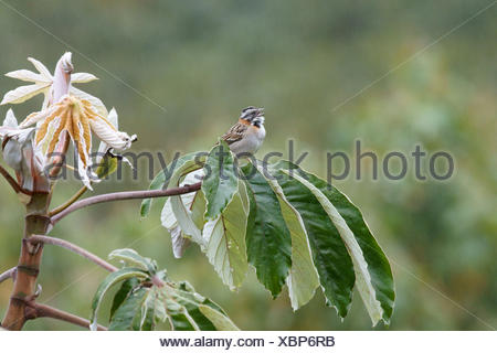 Bird, Tick-tick, Chapada Diamantina, Bahia, Brazil - Stock Photo