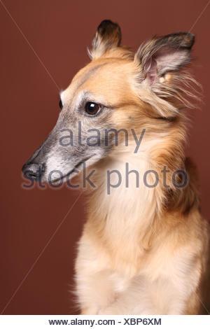 Silken Windsprite sighthound, portrait - Stock Photo