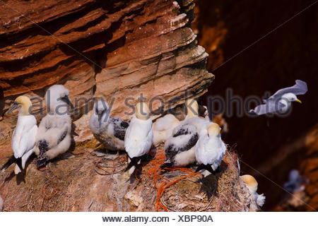 northern gannet (Sula bassana, Morus bassanus), with squeeker in a breeding colony, Germany, Schleswig-Holstein, Heligoland - Stock Photo