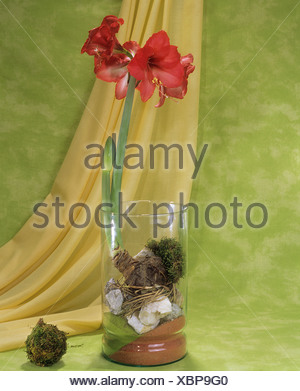 Amaryllis in glass - Stock Photo