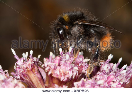 early bumble bee (Bombus pratorum), sitting on a pink blossom looking for nectar, Germany - Stock Photo