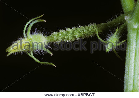 Small cucumber flower bud on unfertilized fruit - Stock Photo
