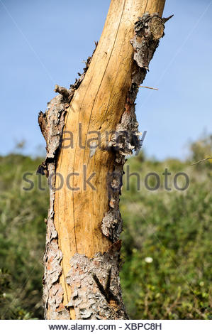 Peeling bark on a dead pine tree Photographed in the Carmel forest, Israel - Stock Photo
