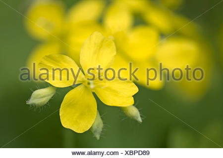 greater celandine (Chelidonium majus), flower, Germany - Stock Photo