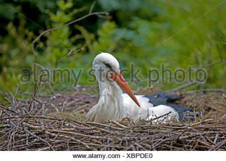WHITE STORK ciconia ciconia ON NEST - Stock Photo