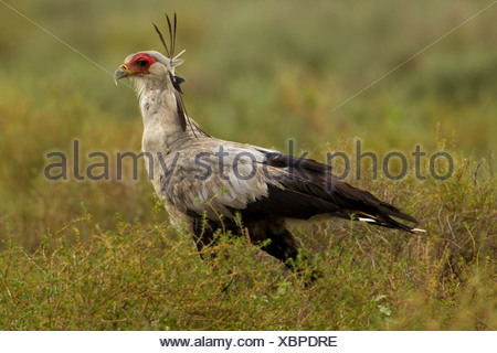 Secretary Bird Walking - Stock Photo