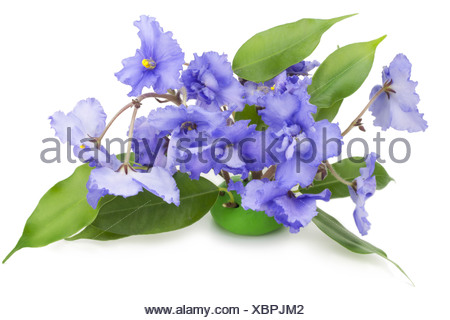 Gentle blue violets flowers - Stock Photo