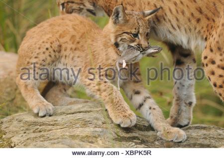 young European lynx with prey / Lynx lynx - Stock Photo