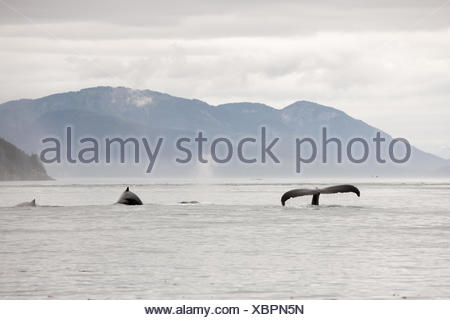 A pod of humpback whales, Megaptera novaeangliae, swim in the water breaching tail and dorsal fins. - Stock Photo