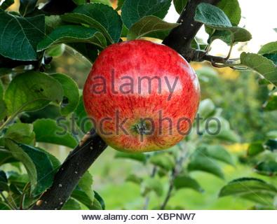 Apple 'Jolly Miller', - Stock Photo