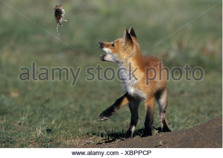 Red fox pup (Vulpes vulpes) playing with dead Deer mouse (Peromyscus maniculatus) near Maple Creek, Saskatchewan, Canada - Stock Photo