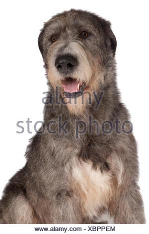 Irish Wolfhound, 21-month-old male dog, brindle - Stock Photo