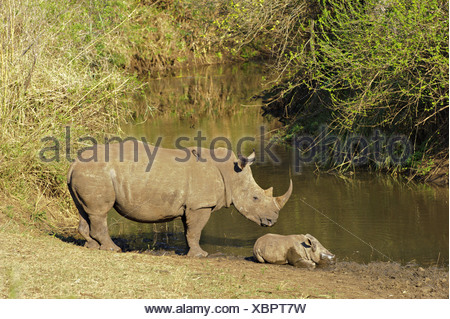 White Rhinoceros Ceratotherium simum adult female standing guard sleeping calf edge waterhole Red-billed Oxpeckers Buphagus - Stock Photo
