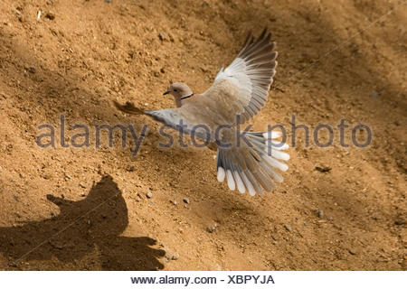 Eurasian Collared Dove Streptopelia decaocto Fuertuventura Canary Islands - Stock Photo