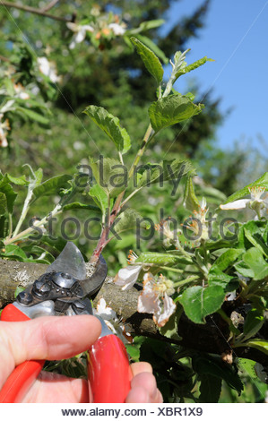 Apple tree, pruning green branches - Stock Photo