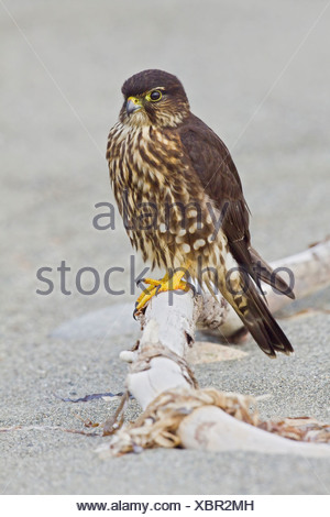 Merlin (Falco columbarius) perched on a branch in Washington, USA. - Stock Photo