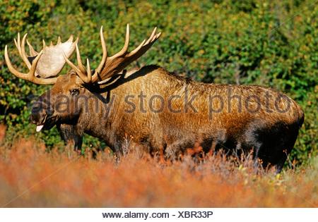 Moose (Alces alces) in the rutting season, Denali N.P., Alaska, America - Stock Photo