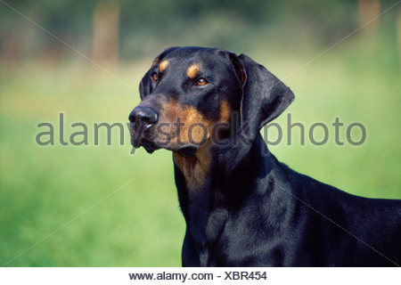 HEADSHOT OF ADULT DOBERMAN PINSCHER / IRELAND - Stock Photo